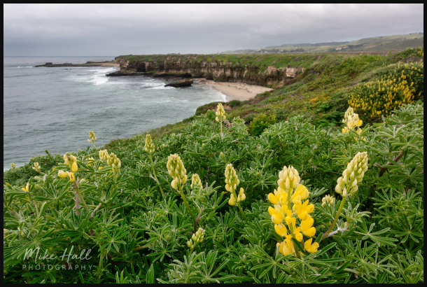 Yellow Lupine along the California Coast