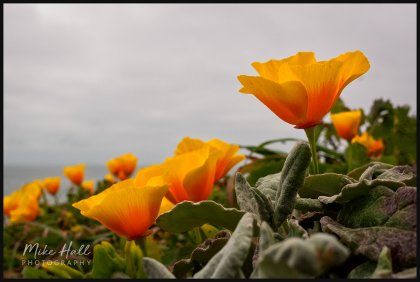 California Poppies along the California Coastline