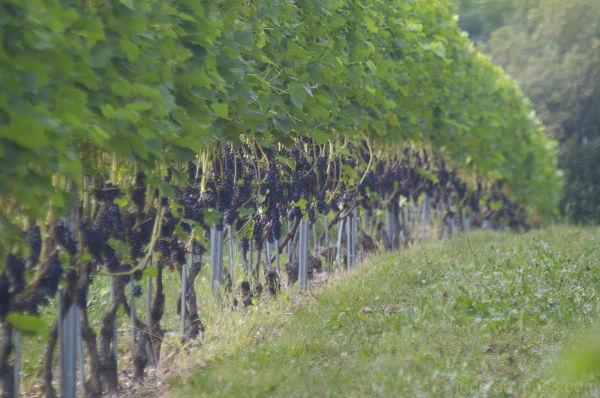 Grand Pre Vineyard #2