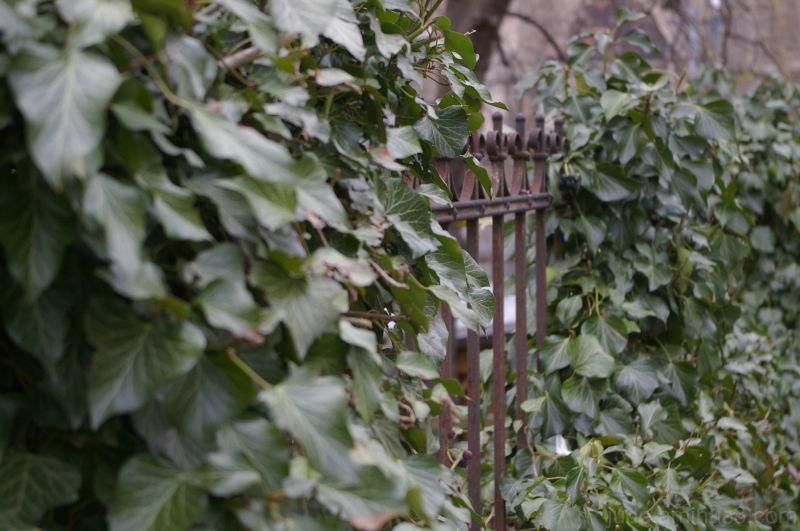 Wrought iron & ivy