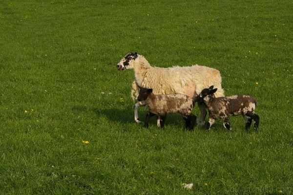 Sheep shots 4