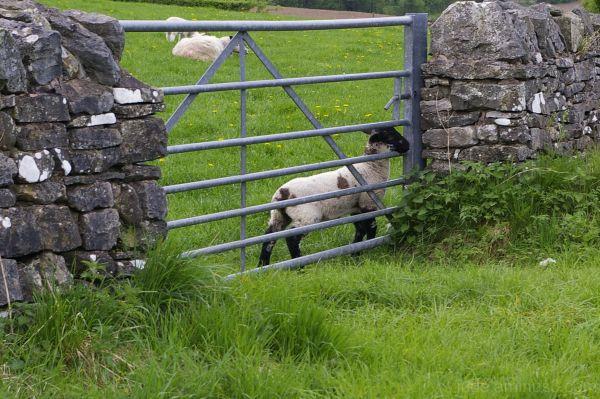 Sheep shots 5