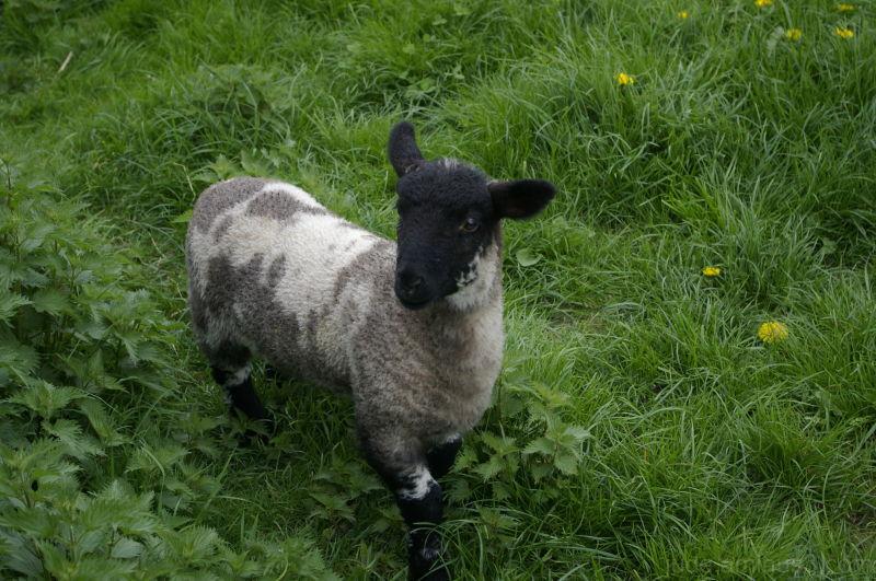 Sheep shots 8