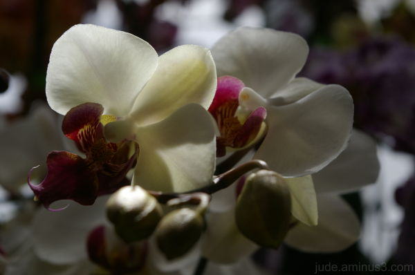 Orchid Festival #2