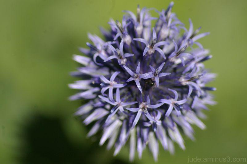 An outburst of cornflower blue!