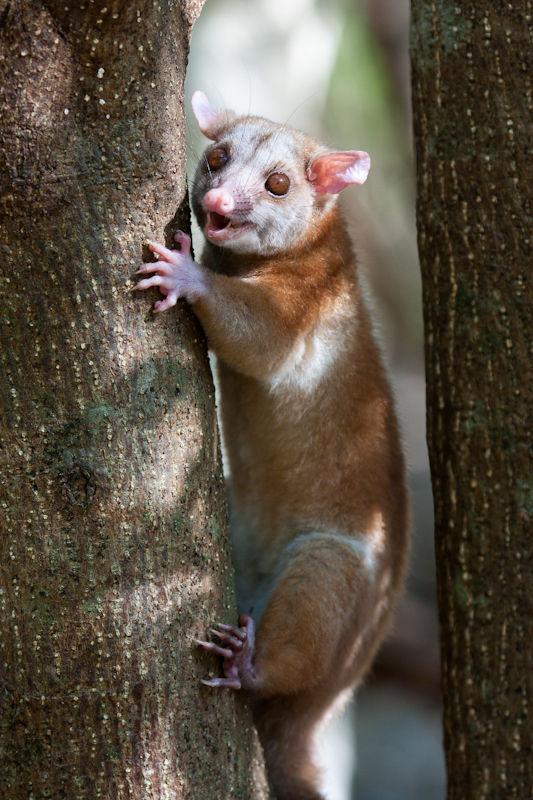 woolly opossum nature wildlife animal costa rica