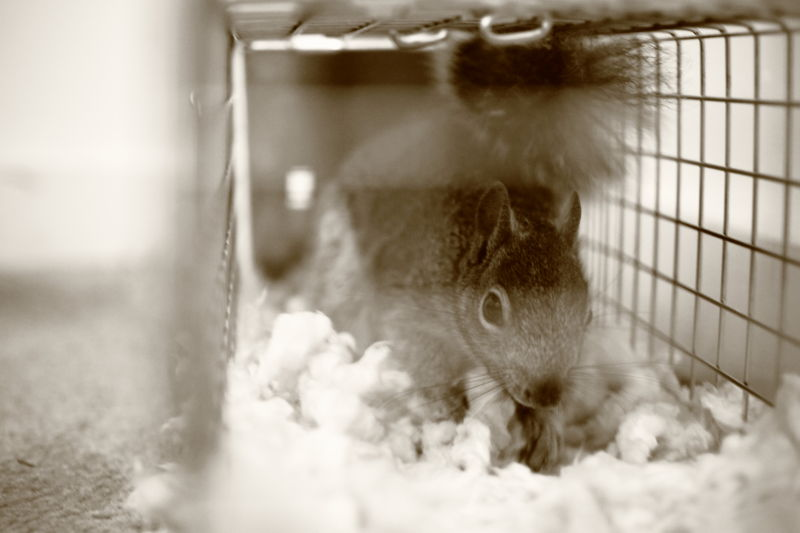 Caged Squirrel