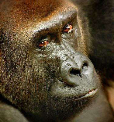 Gorilla omaha zoo animals and nature