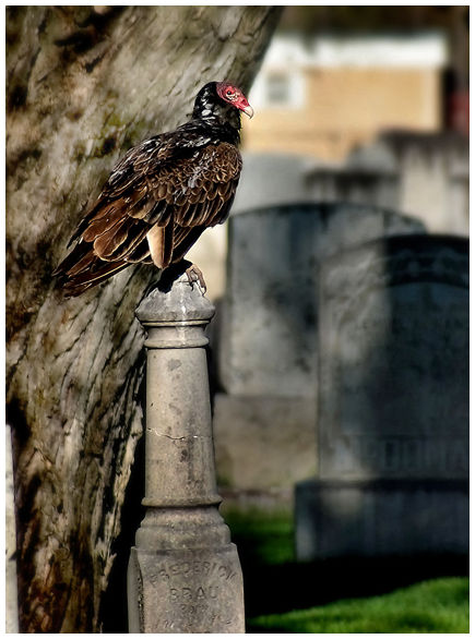 Buzzard in a graveyard