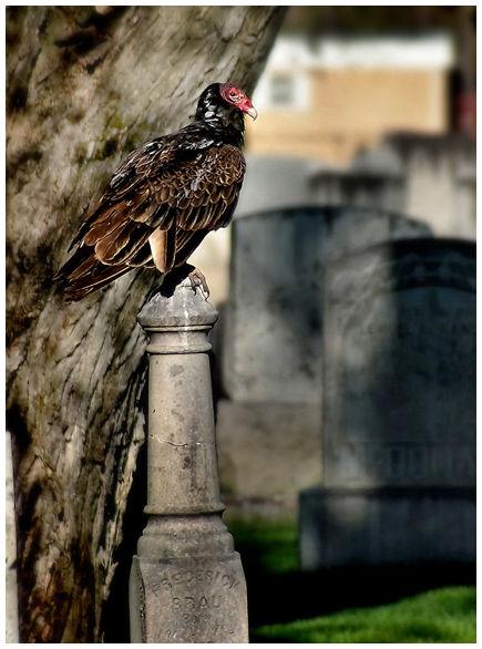 Buzzard in a graveyard