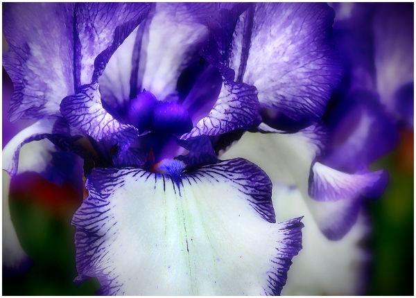 Iris Flower up close