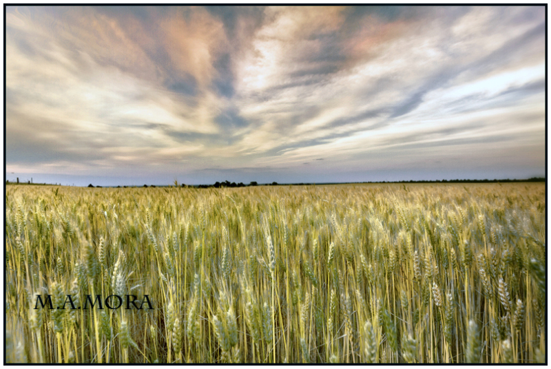 Nebraska Wheat, ... not quite ripe  :)