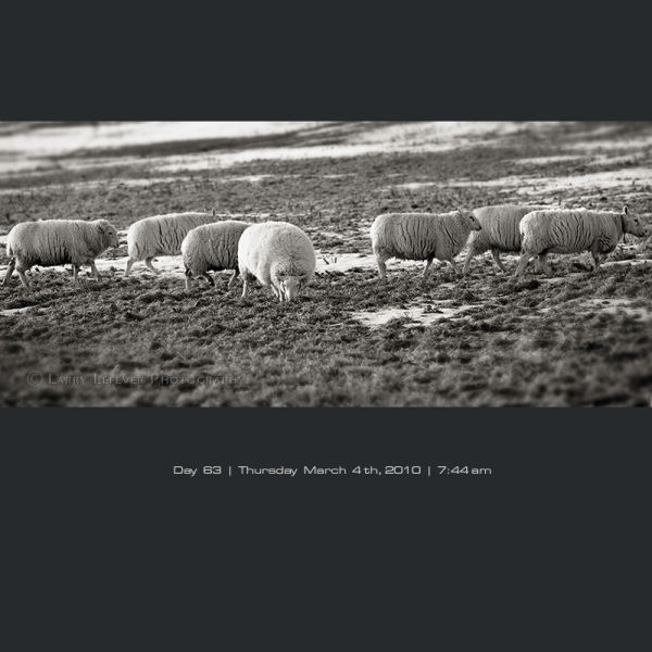 Sheep on pasture in winter.