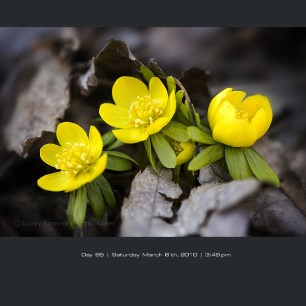 Close-up of winter aconite