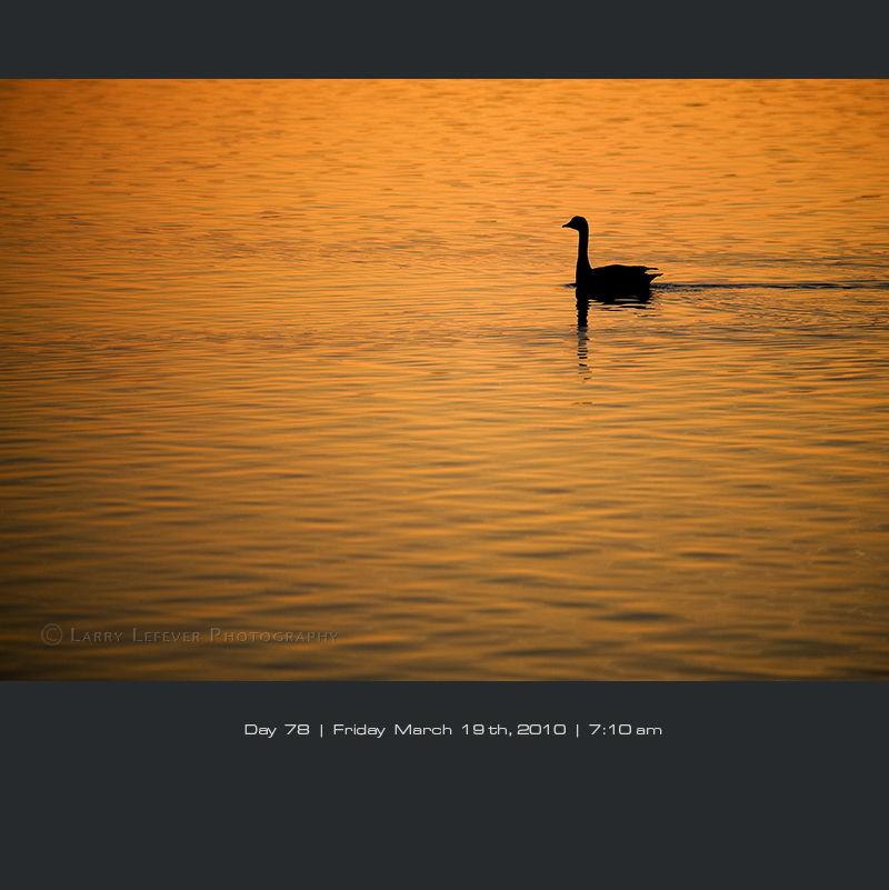 Canada goose on lake at dawn.