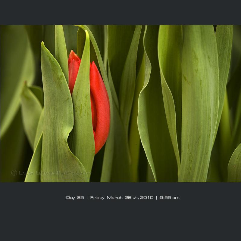 Tulip closeup