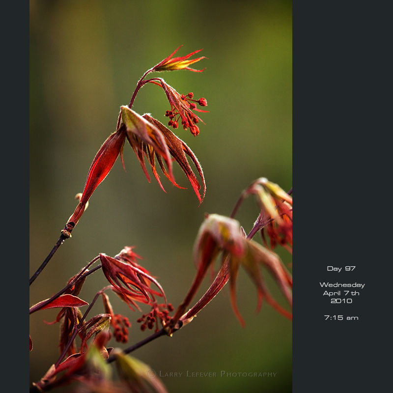 Closeup of Japanese maple leaves sprouting