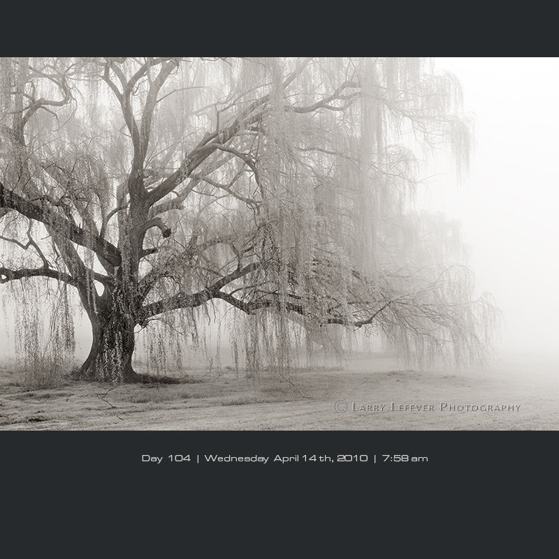 Willow tree in fog.