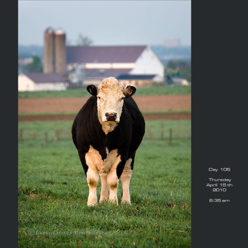 Hereford Angus cross bull.