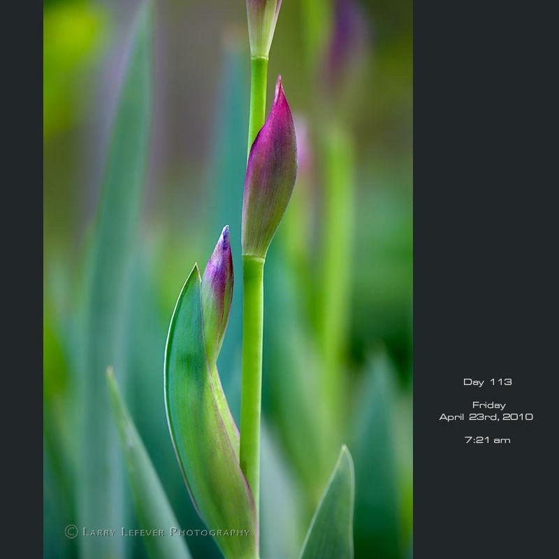 Budding iris closeup