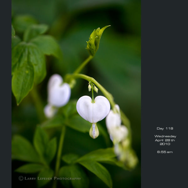 Closeup of white bleeding heart.