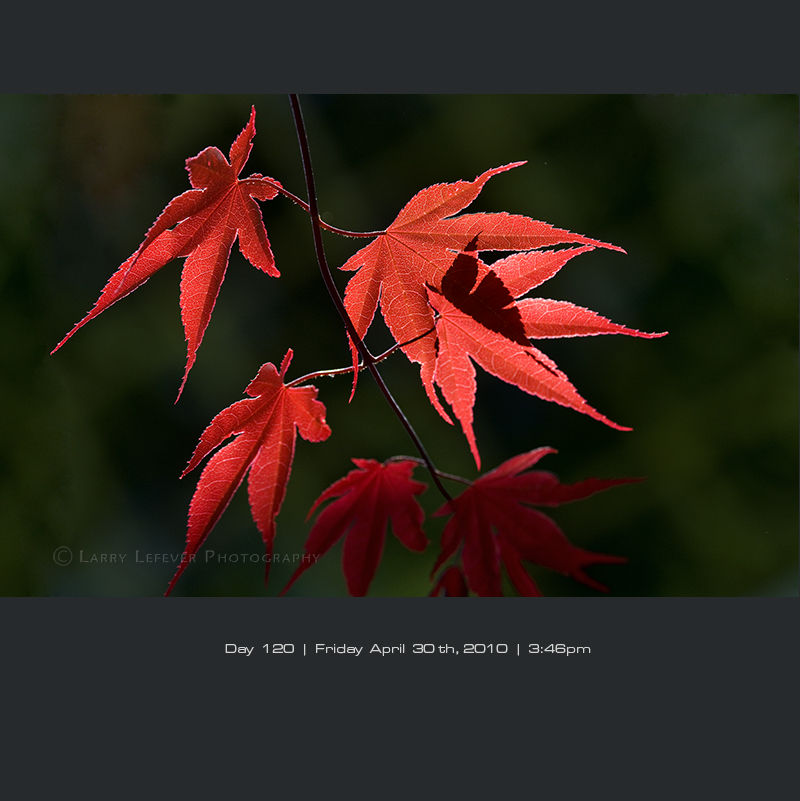 Closeup of Japanese maple leaves in sun