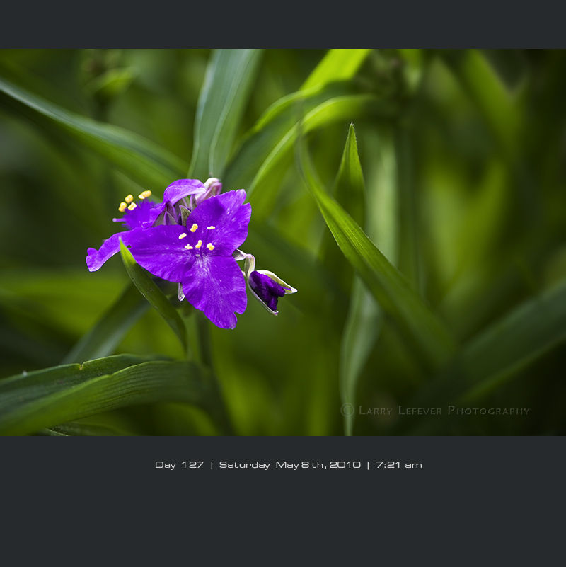 Closeup of Spiderwort
