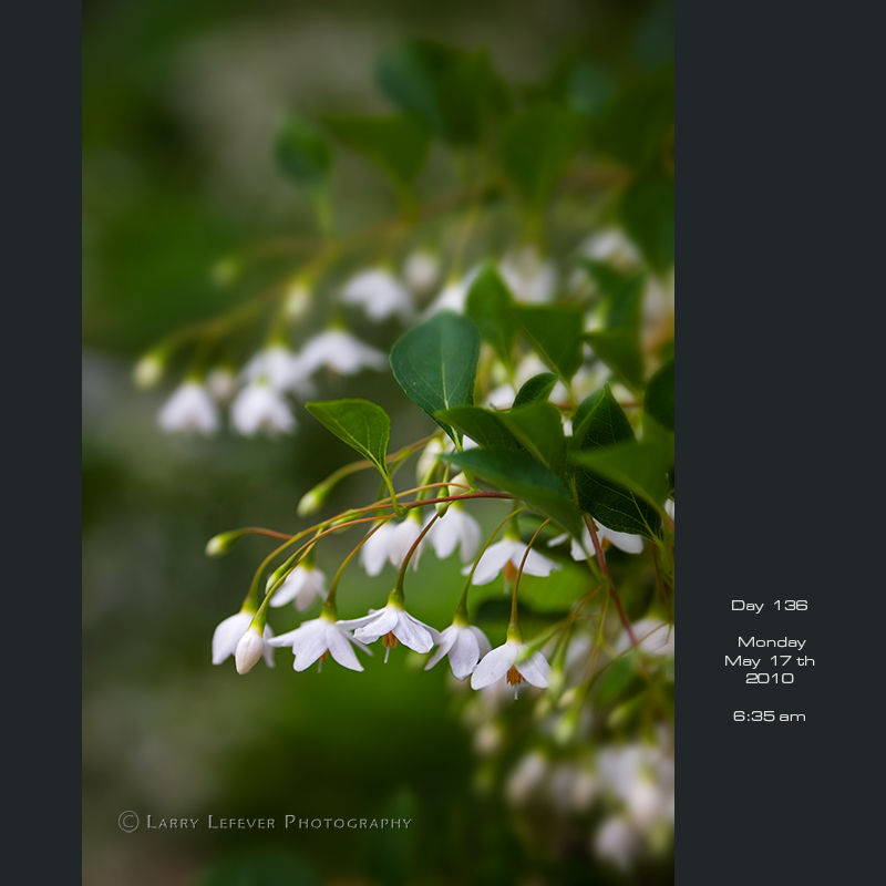 Closeup of Styrax Japonica blossoms