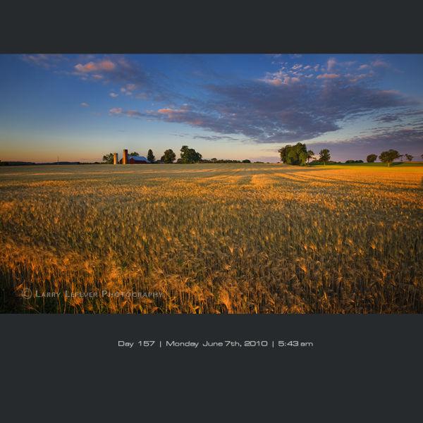 Rippened barley at dawn.