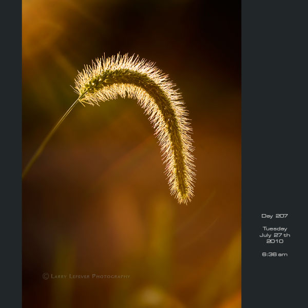 Closeup of foxtail grass