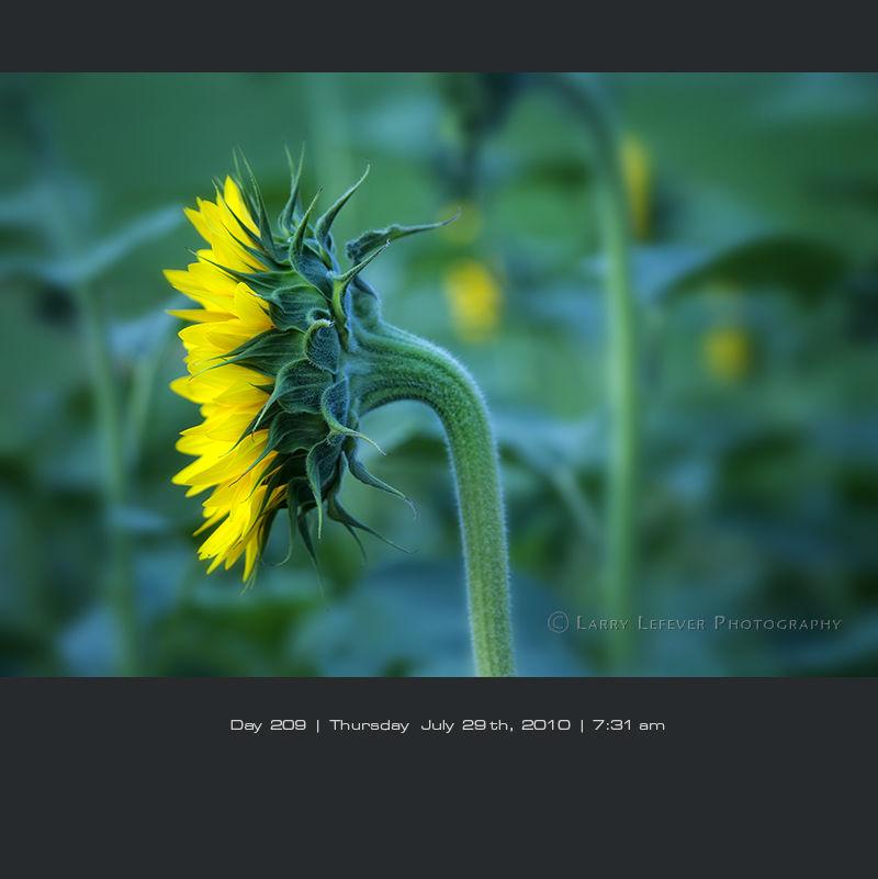 Profile of sunflower