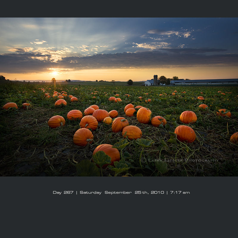 Pumpkin field at sunrise
