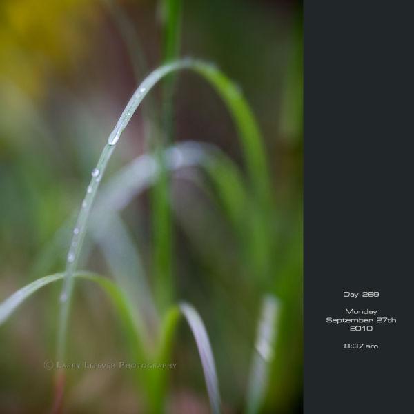 Blade of grass in rain