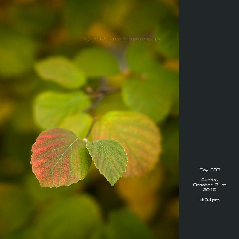 Closeup of fothergilla leaves