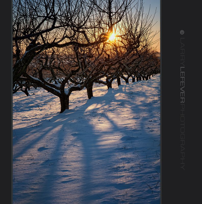 Peach orchard at sunset