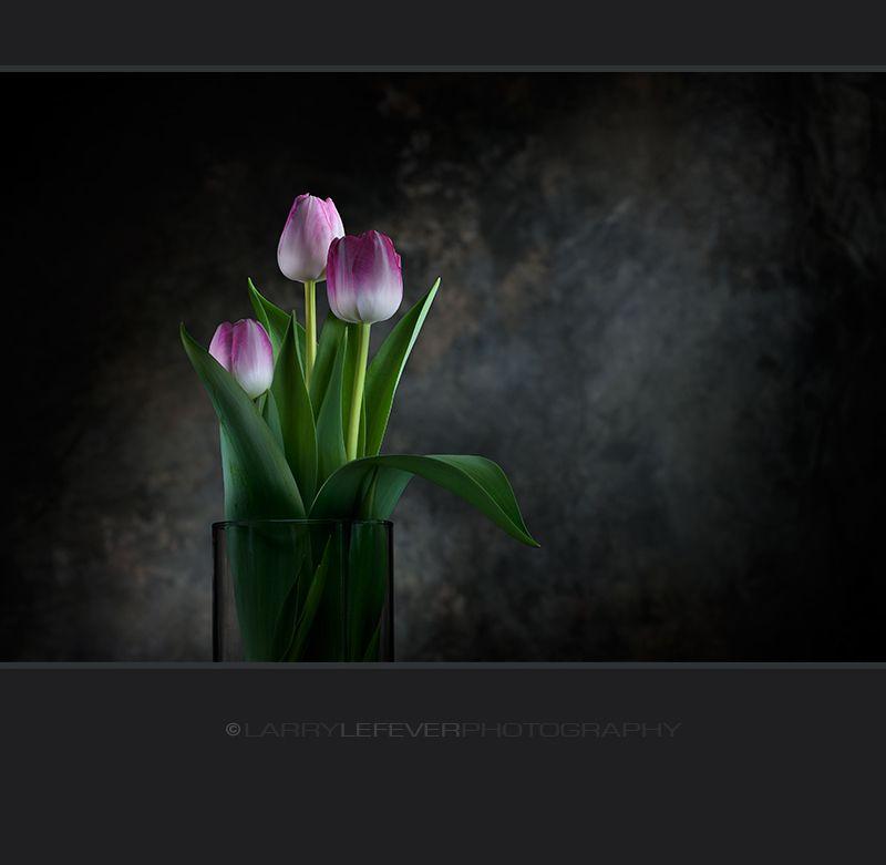 Pink tulips grown in water