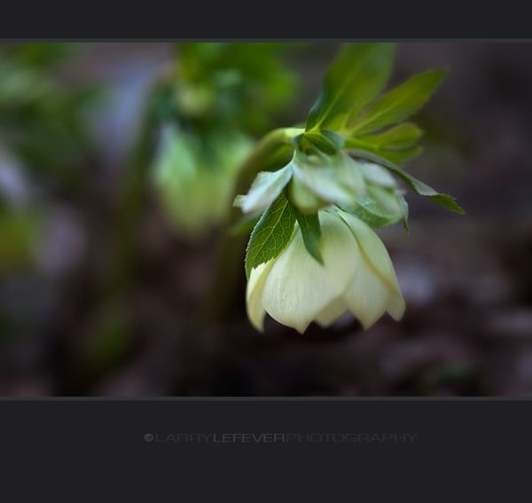 White Lenten Rose