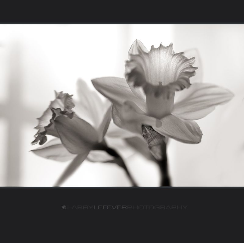 Daffodil closeup in black & white