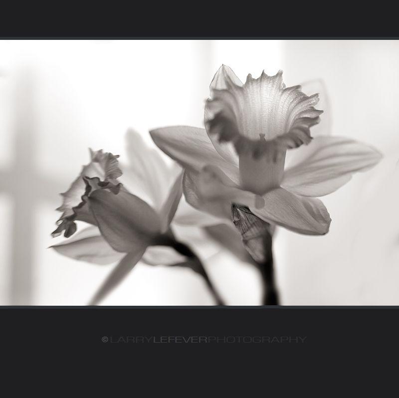 Daffodil closeup in black & white