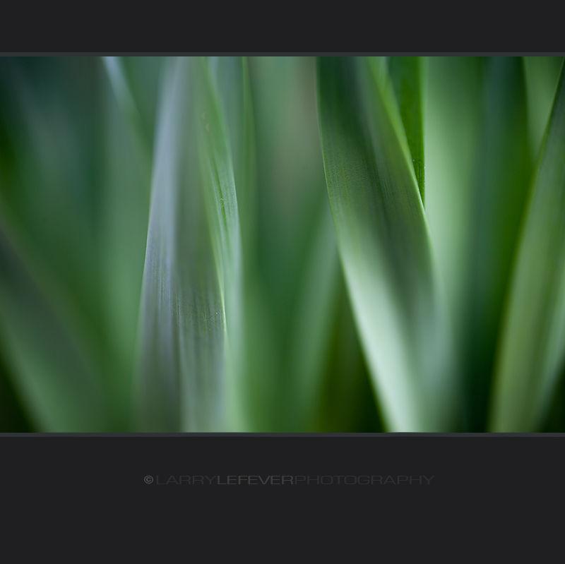 daffodil leaves closeup