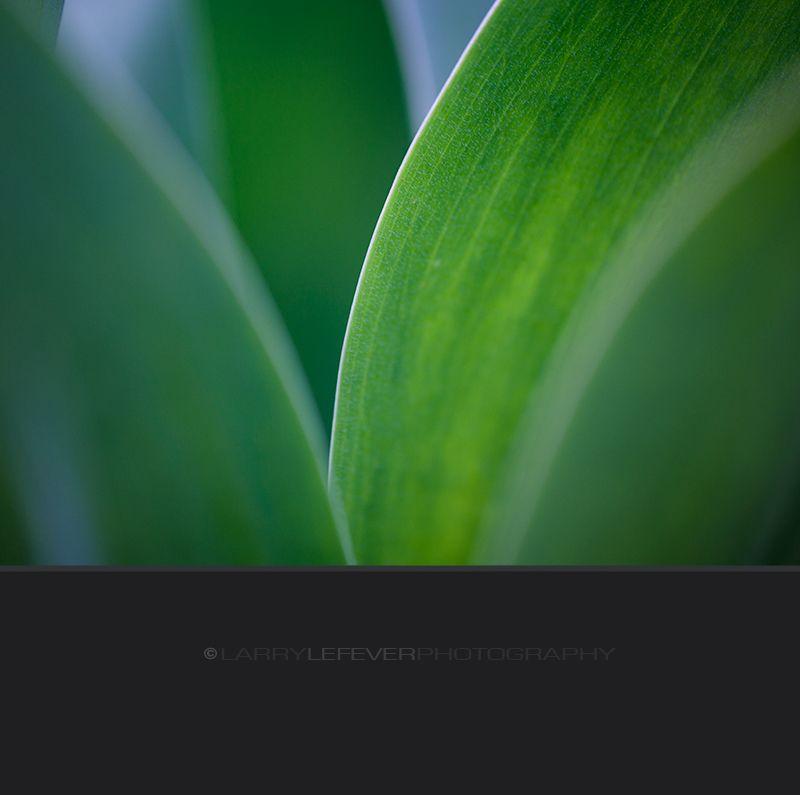Closeup of tulip leaves