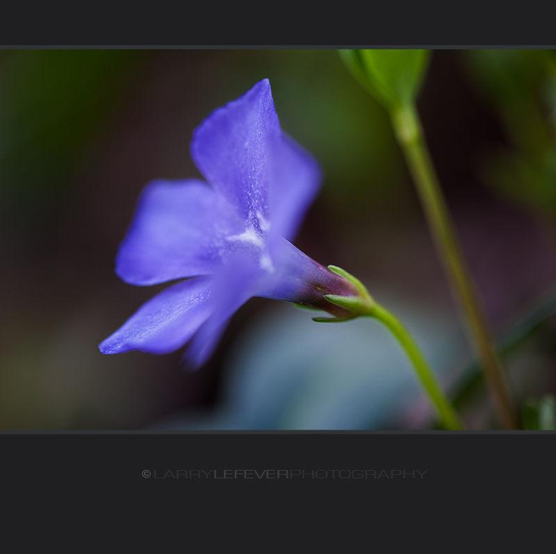 Closeup of groundcover flower