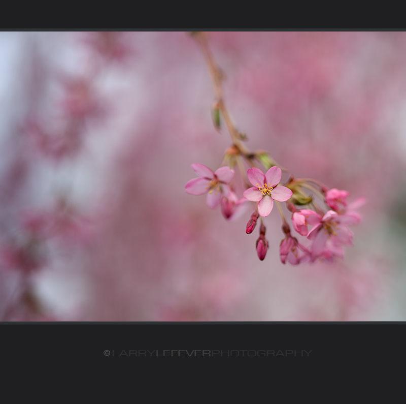 Weeping Cherry tree blossom