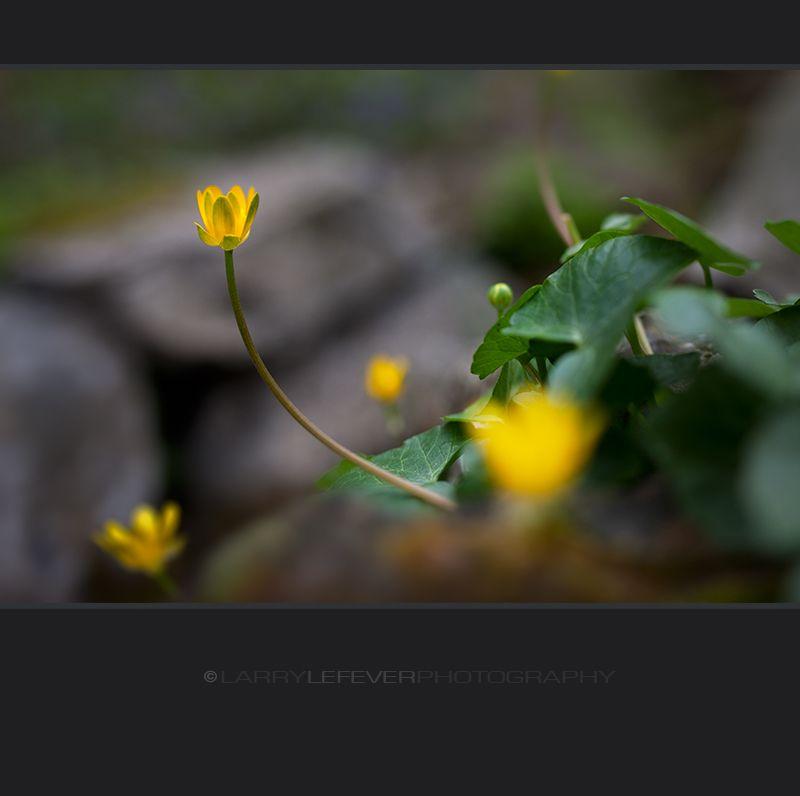 Marsh Marigold closeup