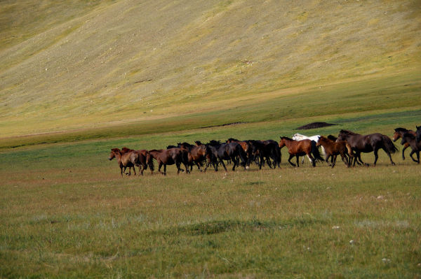 Wild horses in the Mongolian praire