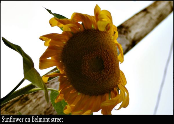 Sunflower on Belmont street