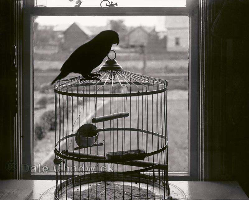 parrot, antique, vintage, bird