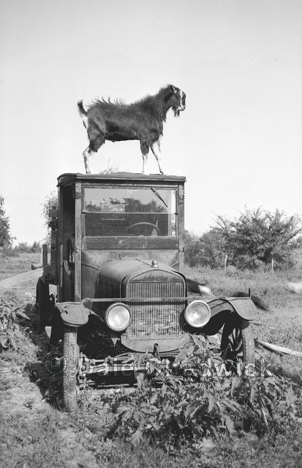 goat,black and white,truck,automobile,antique,vint