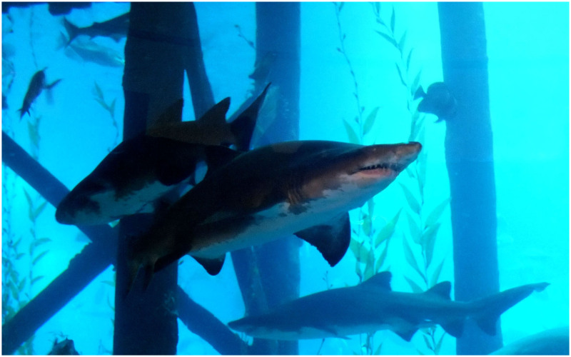 The Sharks....