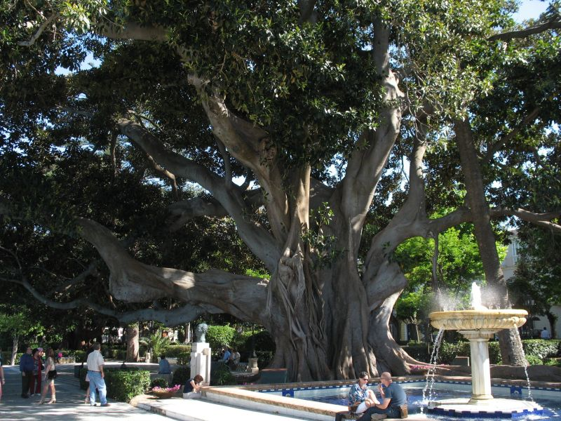 Tremendous big Rubber tree in Cadiz city, Spain.